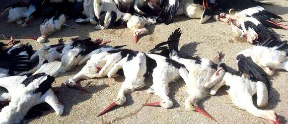 """A """"termés"""" – avagy egy libanoni értelmetlen vadász zsákmánya (nem eszik meg őket) forrás: geapress.org"""