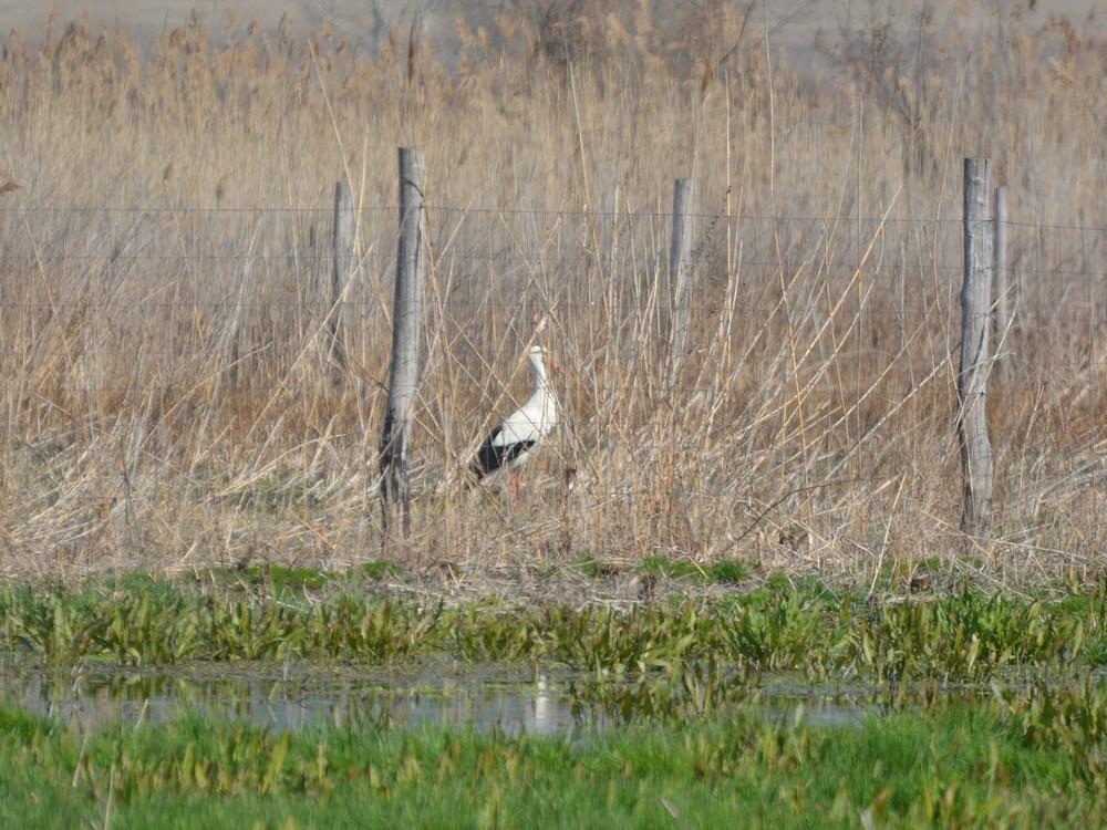 Csécsén már hazai békákra vadászik a gólya a réten (fotó: Papp Ferenc)