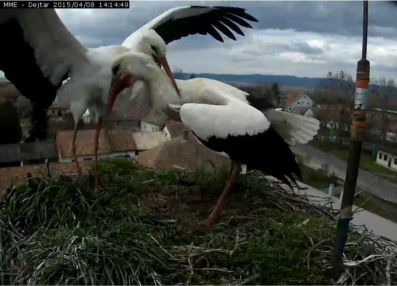 A dejtári hím gólya nyakon ragadja az idegen tojót…