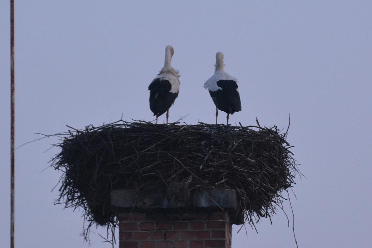 Őrhalomban és néhány fészekben már párban állnak a gólyák, azonban a többség még úton van (fotó: Papp Ferenc)