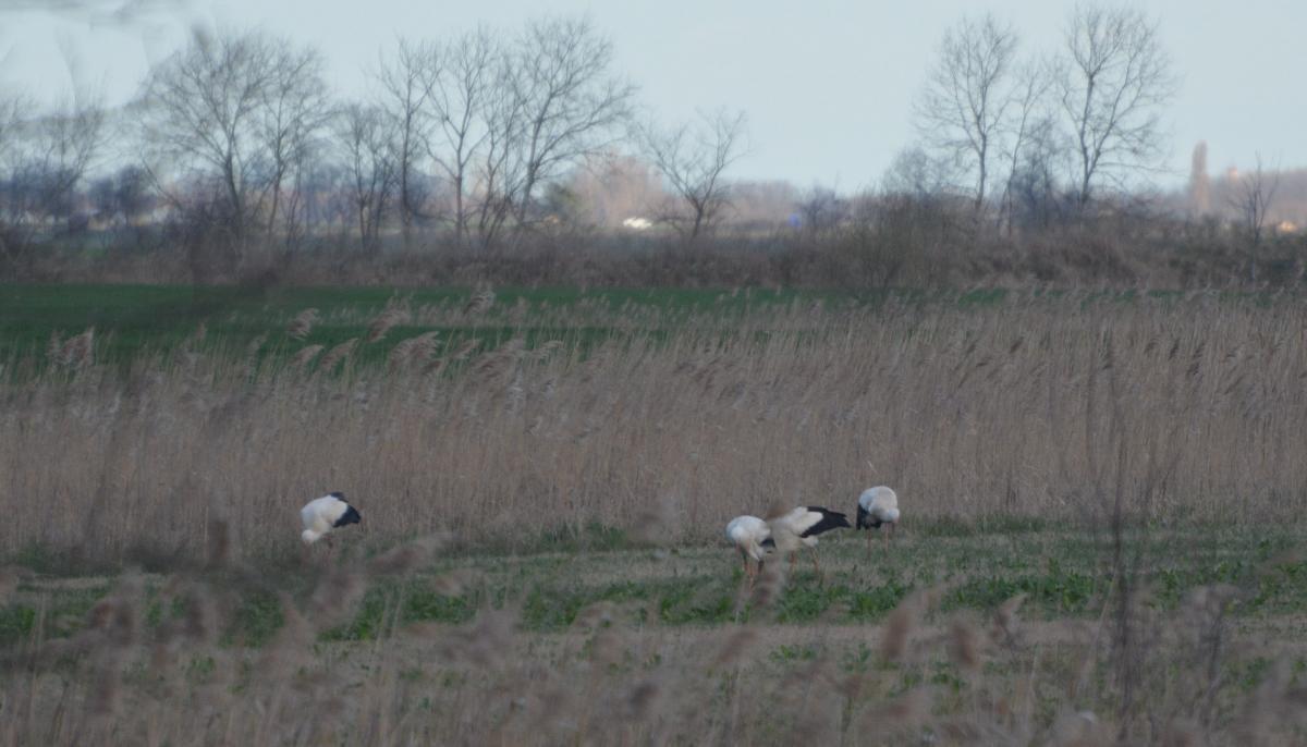A gólyacsapat egy része hajnal a Pest-megyei Farmos határában 2015. április 1-én (fotó: Papp Ferenc)