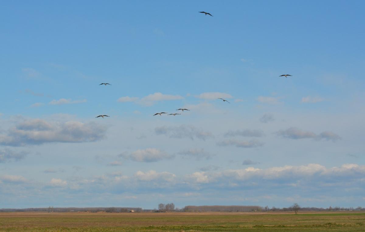 Repülő gólyacsapat (fotó: Papp Ferenc)