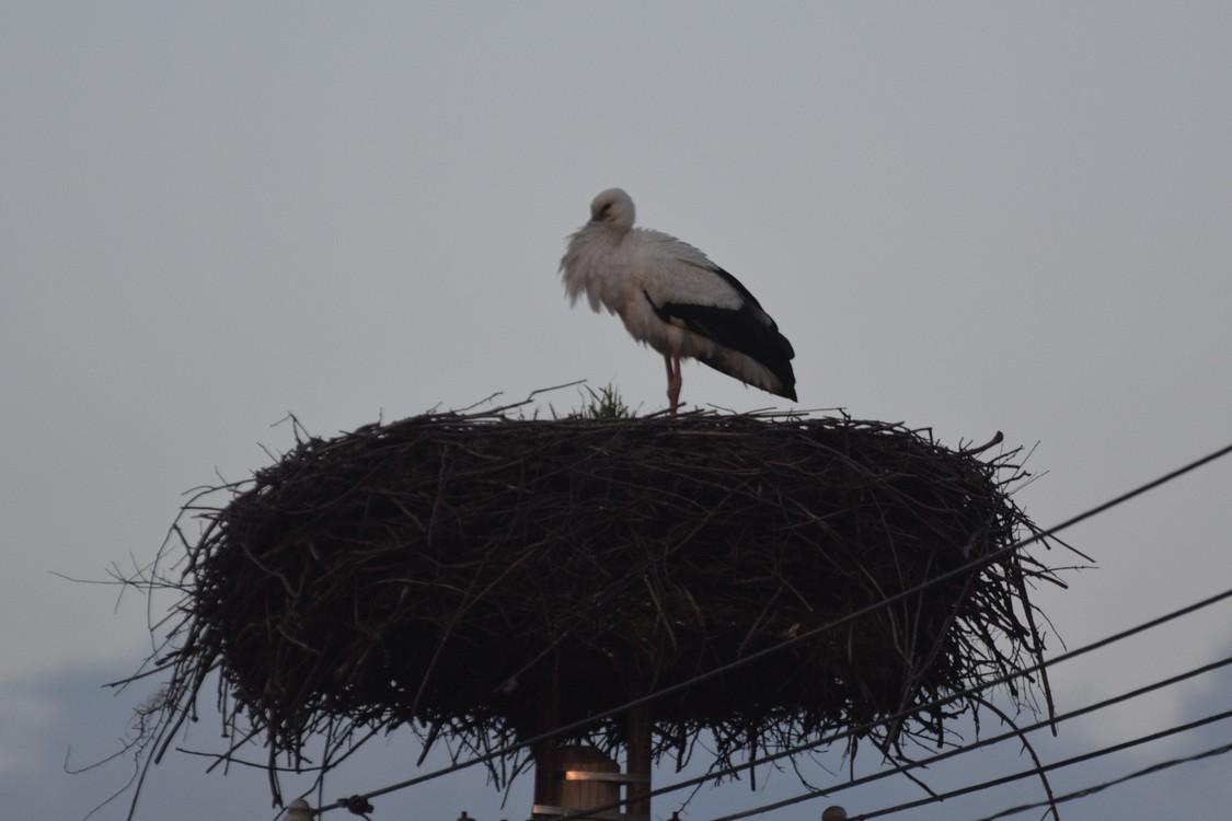 Március 16-án este Ludányhalásziban is már otthon aludt az egyik gólya (fotó: Papp Ferenc)