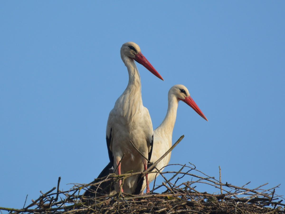 Már Nógrádgárdonyban is párban a gólyák, ők már korábban itt voltak (fotó: Papp Ferenc)