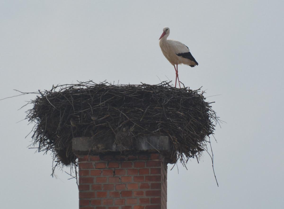 Őrhalmi iskola fészkén a legkorábban érkező nógrádi gólya (fotó: Papp Ferenc)