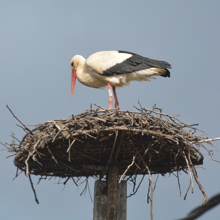 Ez a madár is gyűrűs (fotó: Papp Ferenc)