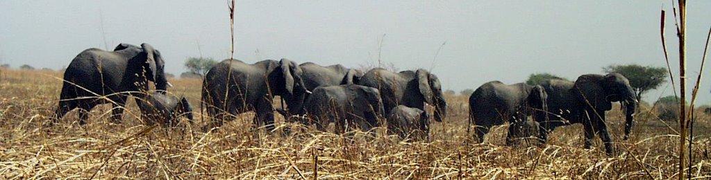Elefántok a Waza Nemzeti Parkban (fotó: Vincent C)