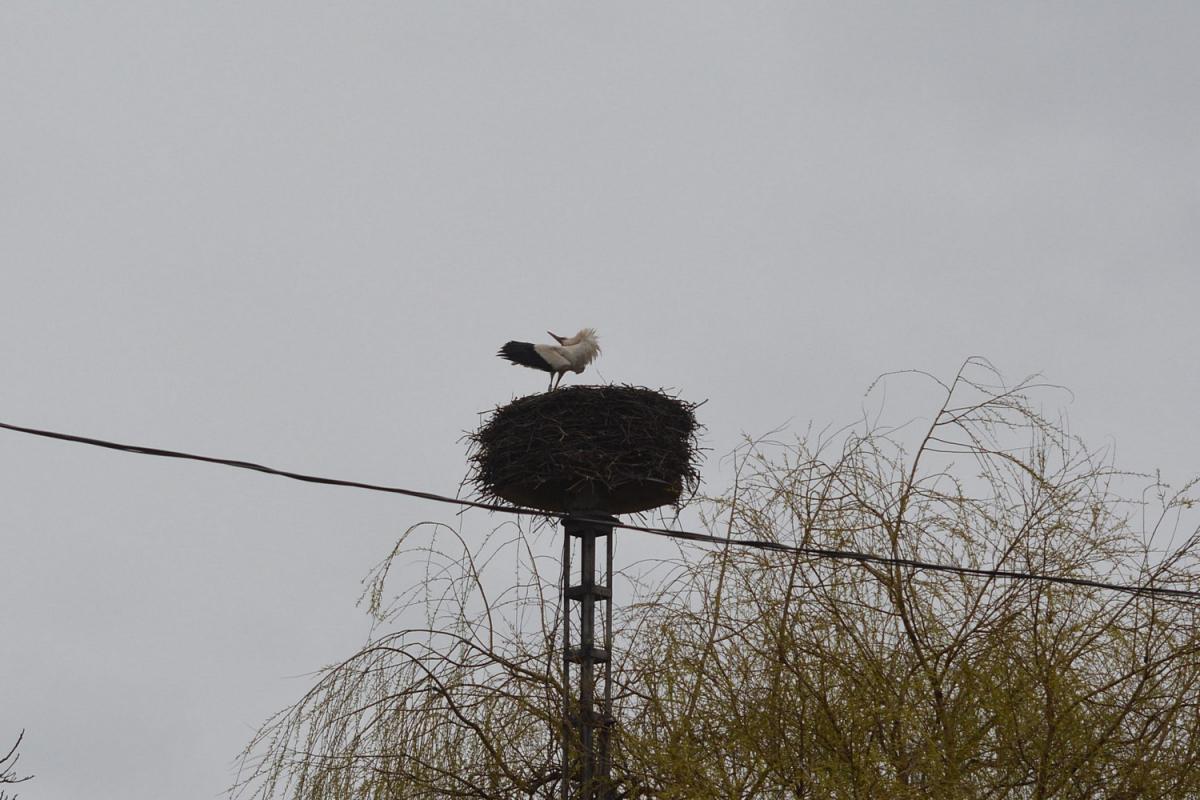 Veca érkezése fészkére 2015. április 2-án (fotó: Papp Ferenc)