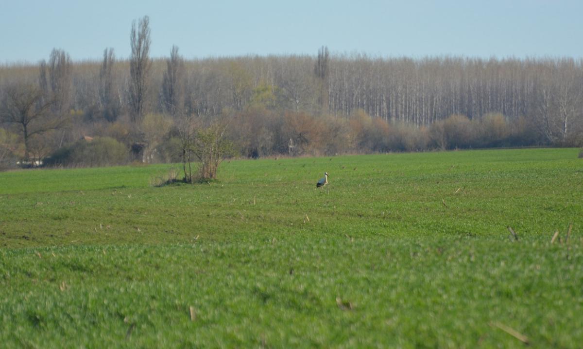 Veca egyedül, többiektől messzebb vadászgatott a vetésen (fotó: Papp Ferenc)